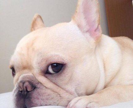 身材娇小的狗狗种类中居然没有小泰迪