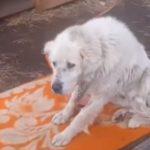 狗狗给主人看咖啡馆,老了却被抛弃,被铁链拴了三年才被救助