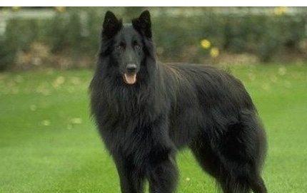 比利时牧羊犬 Belgian Shepherd Dog