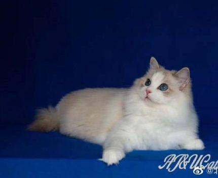 【布偶猫品相评分标准、花色构成及布偶猫品种历史沿革】之