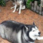 宠物囧图:同样生活在一家的哈士奇,体型差别咋就这么大呢