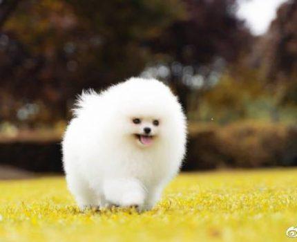 有血统证书的博美,就是真正的血统犬?