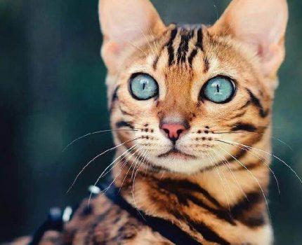 豹猫到底适合在家养吗