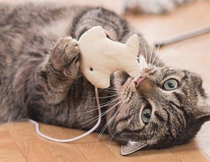 猫为什么总叼些乱七八糟的东西给我?科学家告诉你背后的原因