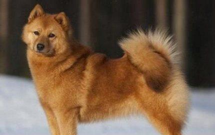 芬兰猎犬 Finnish Spitz
