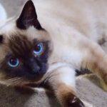 推主家暹罗猫的成长变化,养着养着,仿佛换了一只猫!