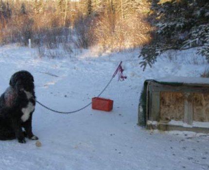 狗狗被拴在雪地里5年,只因管不住嘴爱咬牲畜,主人怕邻居找麻烦