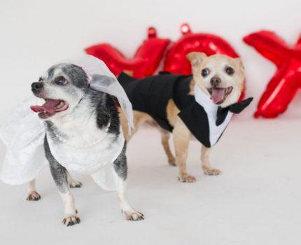 """两只吉娃娃年老没人要,收容所别出心裁,为它俩举办温馨""""婚礼"""""""