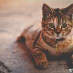 50000多只猫跳海自尽,1952年的日本到底发生了什么?