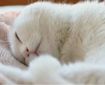 网红鼻祖长条猫去世,那只身子很长的猫也走了……