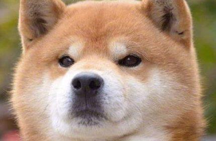柴犬品相怎么看,纯种柴犬标准。
