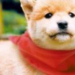 柴犬小课堂之柴犬的伴侣犬特性。