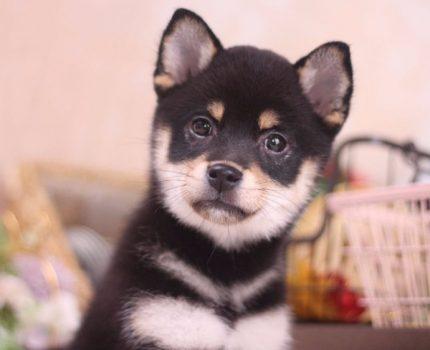 关于柴犬的喂养,怎样让柴犬长胖?柴犬怎么变成网红脸?
