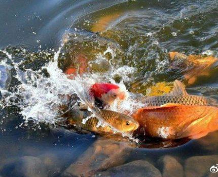 如何简单粗暴养好四大风水鱼之首锦鲤鱼?请记住这个心诀和口诀
