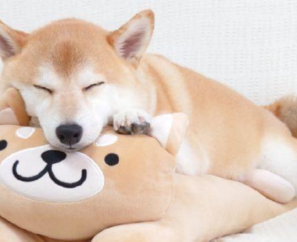 如何分辨日本纯种柴犬和中华田园犬的区别