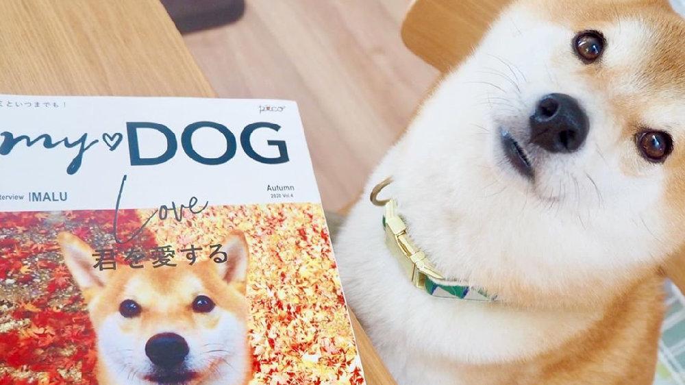 柴犬——天生的演员,柴:郭敬明老师我能得到您的S卡吗?