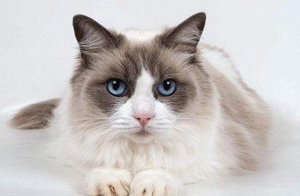 深圳盐田区哪里能买到布偶猫,盐田区哪里卖布偶猫