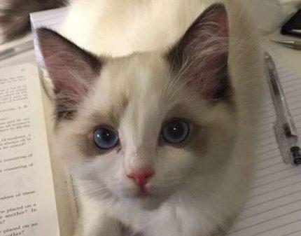 济南槐荫区哪里能买到布偶猫,槐荫区哪里卖布偶猫
