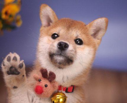 为什么关于柴犬的价格争议不断,柴犬到底多少钱?