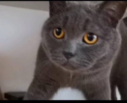 坠楼改变了蓝猫麻崽的猫生