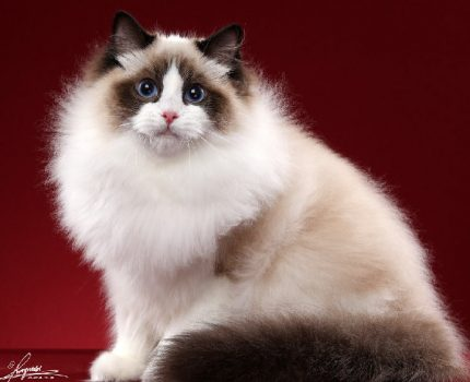 沈阳法库县哪里能买到布偶猫,法库县哪里卖布偶猫