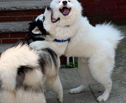"""萨摩耶结交许多狗朋友,常去别人门外打招呼,却被主人""""拖后腿"""""""