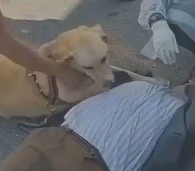 导盲犬超可靠,主人晕倒它坚持守护,医护人员赶都赶不走