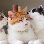每日一问:猫咪为什么会互相舔毛