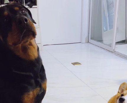 对你不理不睬是因为还没喜欢你!忠诚和护卫的代名词——罗威纳犬