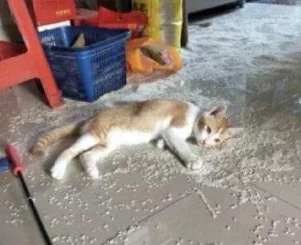 我养的猫,比狗还会拆家!