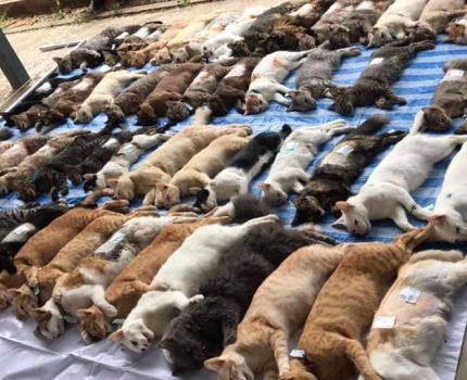 集体暴毙?泰国上百只猫并排躺一地,真相曝光网友笑翻