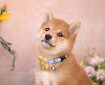 柴犬的性格适合新手家长饲养吗?