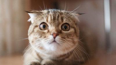 安爸告诉您小猫一直叫是什么原因呢