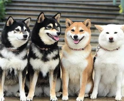 柴犬是土狗吗?和土狗有什么区别?