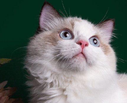 猫咪的小秘密之长毛猫的毛
