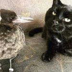 救了只喜鹊怕被猫吃了,放它走却又飞回来,还和猫成了好朋友!