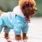 哪些狗狗不适合穿衣服?给狗狗穿衣服的注意事项!