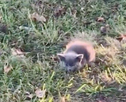 小蓝猫蹲在草地无助喵叫,女子差点撞着它,它却毫不犹豫跑向女子