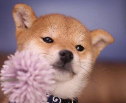养一只柴犬有多少好处?你们了解们?准家长过来了解清楚!