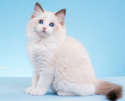 重庆荣昌区哪里能买到布偶猫,荣昌区哪里卖布偶猫