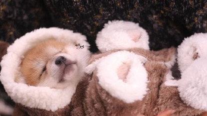 挑好看的柴犬有什么讲究?大黄和柴犬到底什么关系?