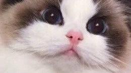 西安碑林区哪里能买到布偶猫,碑林区哪里卖布偶猫
