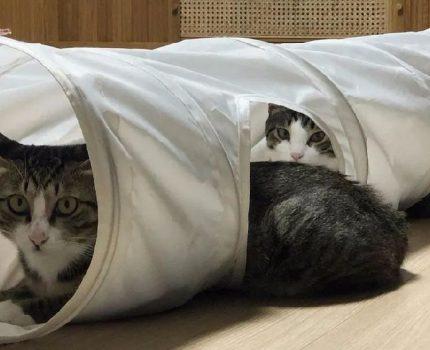原住猫精力旺盛,领养了猫同伴陪他玩,没想到两猫一起拆家!