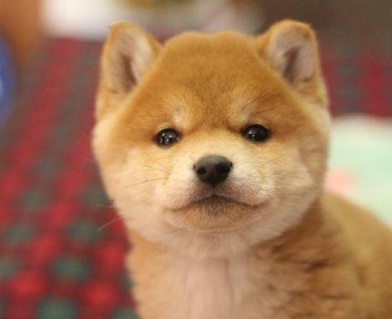 两只小柴犬都很可爱,我该怎么选择?别慌我来教你!