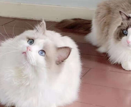 猫咪难产怎么办