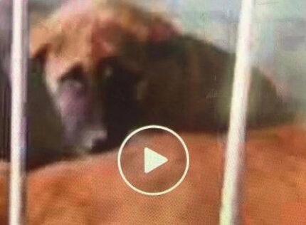 三只小土狗在上海宠物救助中心被救助的曲折经历
