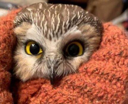圣诞节:小型猫头鹰意外藏身云杉潜入纽约