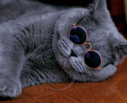 如何鉴别英短蓝猫?你真的了解英短蓝猫吗?