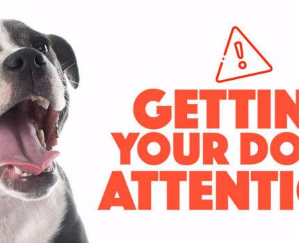 如何训练狗子的注意力?